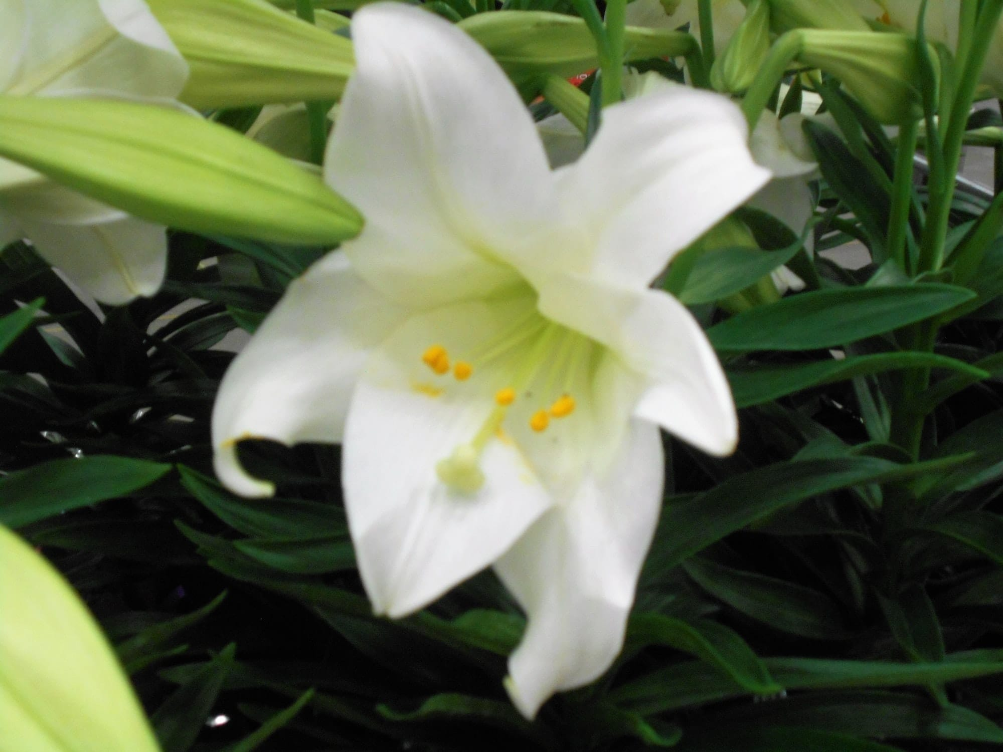 Easter Lily Flower! A beautiful, pure white lily flower to celebrate Easter.